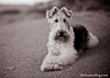 kansas wire fox terrier