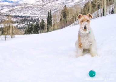aspen colorado wire fox terrier